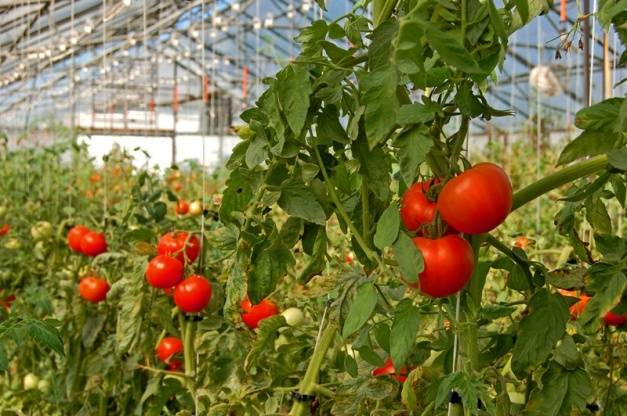 Кистевые томаты для теплиц сибирская серия