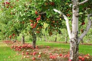 Совместимость деревьев при посадке таблица