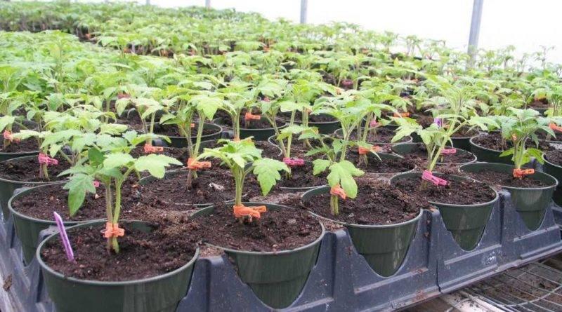 Карликовые томаты