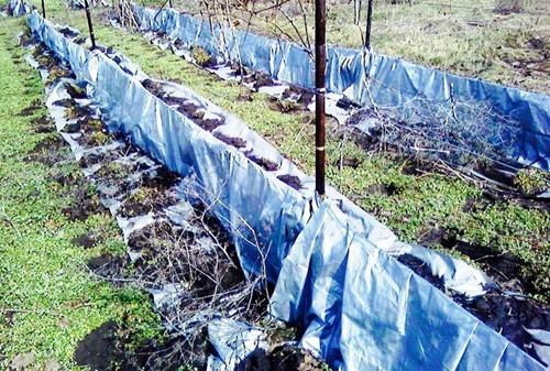 Как укладывать виноград на зиму
