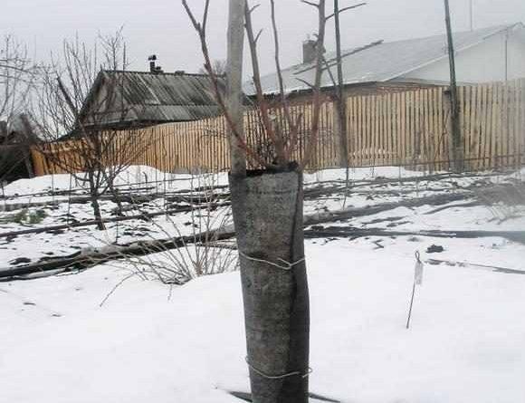 Как защитить деревья от грызунов