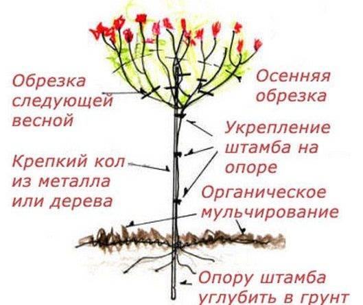 Клумбовые розы