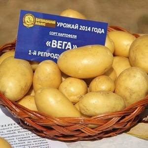 Картофель вега описание сорта