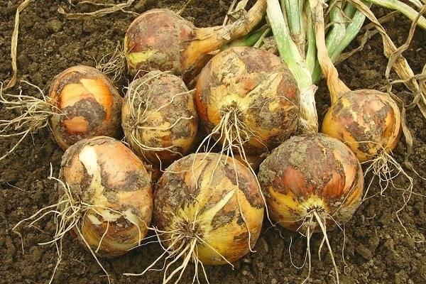 Сорта голландского лука севка