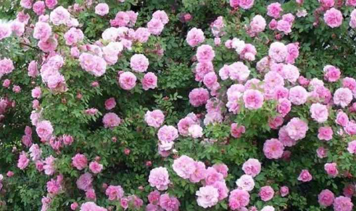 Роза martin frobisher